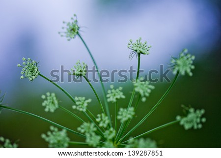 plant umbrella of dill