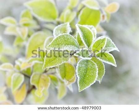 Plant with leaves covered with morning frost. Photo taken in late autumn. - stock photo