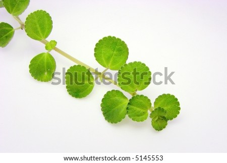 Plant with pale green leaves over white background. - stock photo