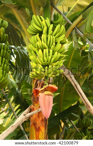 Plantains and flower of Musa paradisiaca, Canary islands, Spain. - stock photo