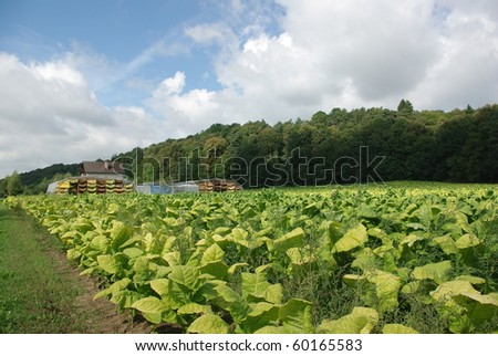 plantation  and drying the leaf of tobacco - stock photo