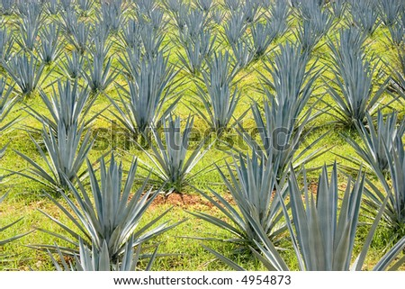 Plantation of Blue Agave cactus, used in the production of Tequila - stock photo