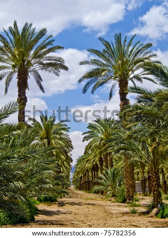 Plantation of date palms in the Negev desert, Israel - stock photo
