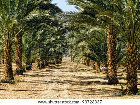Plantation of date's palms near Eilat, Israel - stock photo