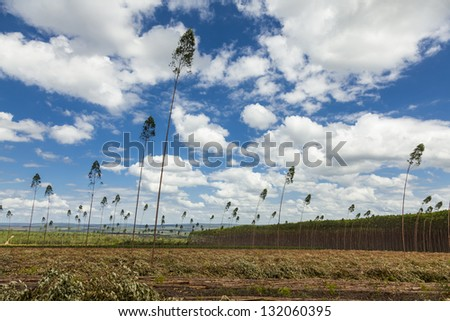 Plantation of eucalyptus trees under a blue sky and white clouds