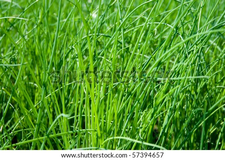 plantation of fresh and young chives