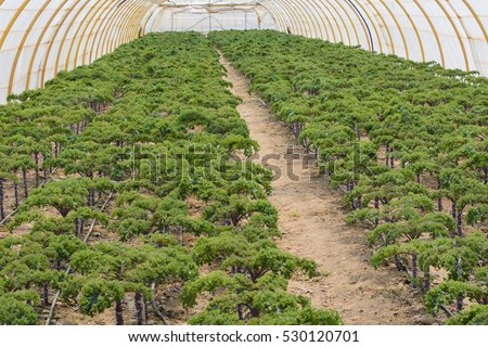 Plantation of kale in greenhouse with drip irrigation system