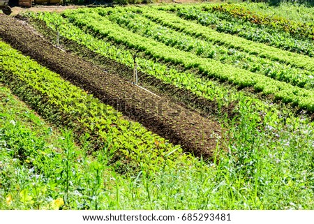 Plantation of lettuce and vegetables in general, seedlings and vegetable gardens