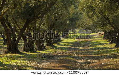 Plantation of olive trees in Morocco - stock photo