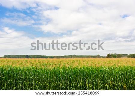 Plantation of Ripe Corn in Piedmont, Italy - stock photo