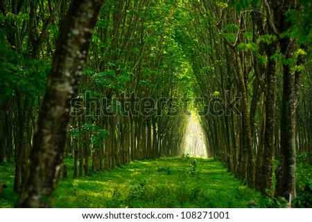 Plantation of rubber trees in Thailand - stock photo