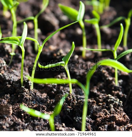 Plantation of sprouts in soil - stock photo