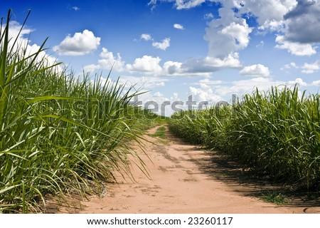 Plantation of sugarcane - stock photo