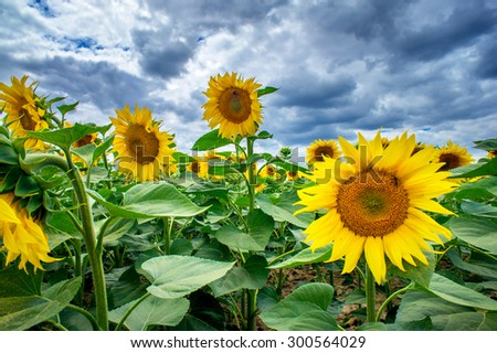 Plantation of sunflowers and stormy sky. - stock photo
