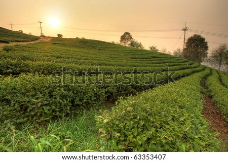 plantation of tea on mountain