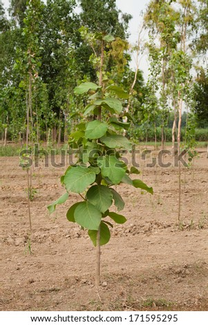 Plantation of Teak trees in an agricultural forest in bright afternoon sunlight.
