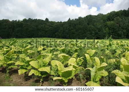 plantation of tobacco on background of forest - stock photo