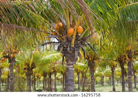 Plantation or Grove of Coconut Palm Trees, Florida - stock photo