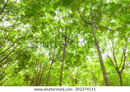 Plantation rubber. rubber trees cultivated in rows of rubber trees in plantation agriculture. - stock photo