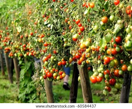 plantation with fresh tomato - stock photo