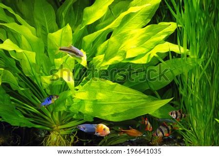 Planted aquarium with fish - stock photo