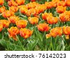 Planted Blooming Orange Tulips - stock photo