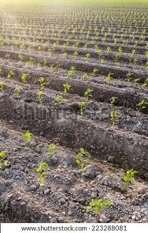 Planted seedlings on farmland - stock photo