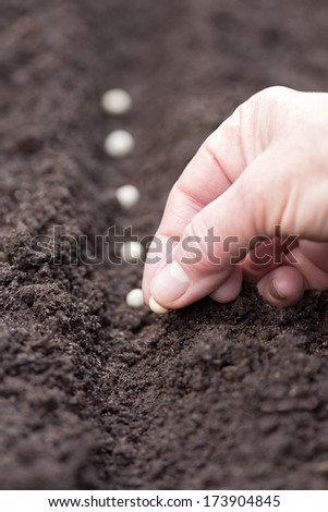 planting a row of peas  - stock photo