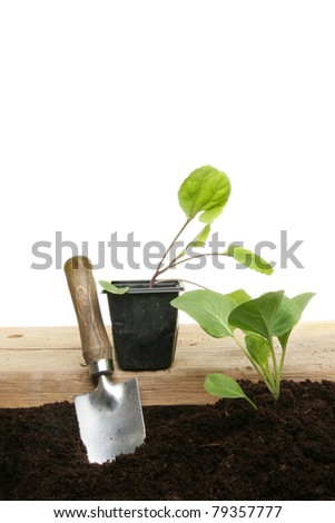 Planting cabbage seedlings from a pot to soil with a garden trowel