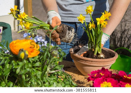 Planting colorful spring flowers and bulbs in the garden