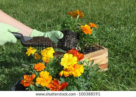 Planting colorful spring flowers outdoors - stock photo