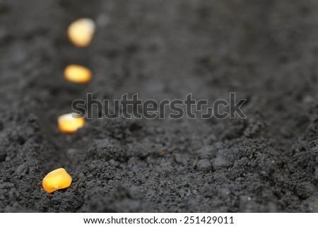 Planting green corn seeds in fertile soil - stock photo