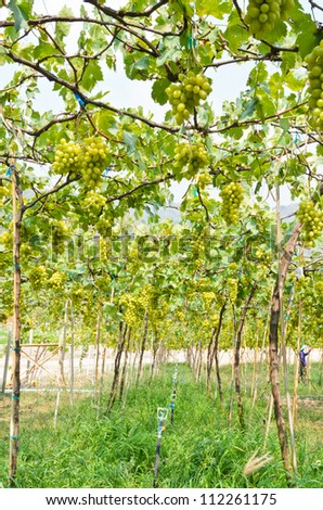Planting green grapes in the tropics, Thailand