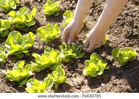 planting lettuce in the garden - stock photo