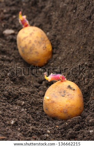 Planting of a germinated potatoes on a bio garden. Close up with shallow DOF. - stock photo