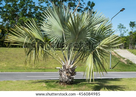 Planting palm in the garden