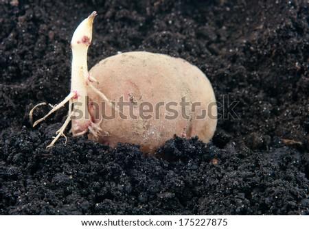 planting potato tuber into the ground  - stock photo