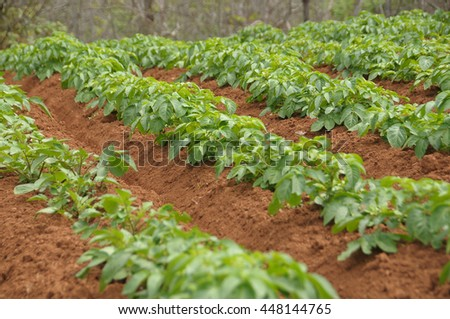 Planting potatoes in northern Tenerife, Canary Islands
