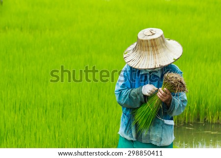 Planting rice-farmers pulling seedlings to be planted in the field. - stock photo