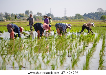 Planting rice in Thailand