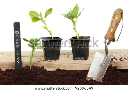 Planting seedling broad bean plants into soil
