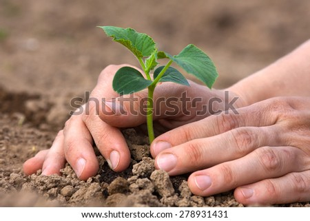 planting seedling of cucumber - stock photo