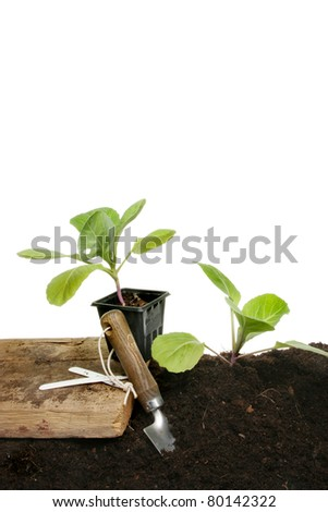 Planting seedling vegetable plants into soil with a garden trowel against a white background