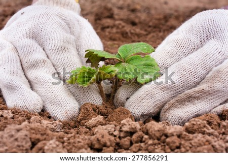 planting strawberry seedling, closeup - stock photo
