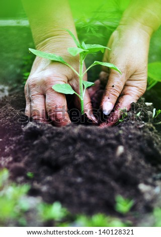 Planting sunflower, gardening concept - stock photo