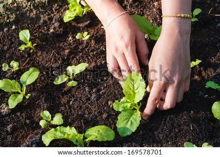 Planting vegetable garden - stock photo