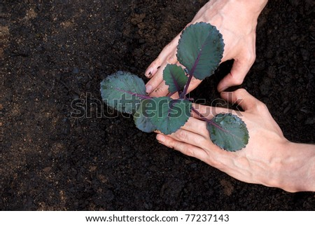 Images of Cabbage Plant Planting Young Purple Cabbage