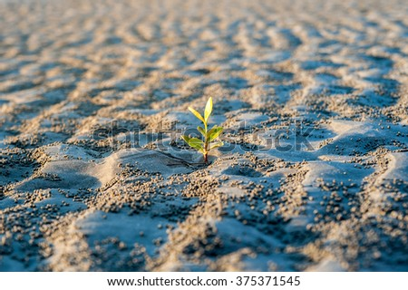 Planting young sprout mangrove on the beach - stock photo