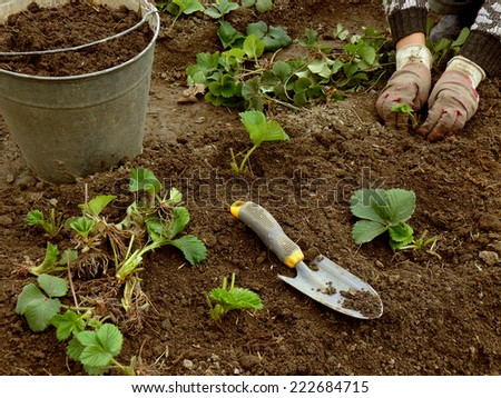 planting young strawberry plants grown from runners - stock photo