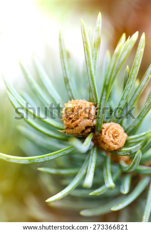 Plants and trees: fresh pine tree sprout, needles and small cones, in a sunlight, close-up shot, natural background - stock photo